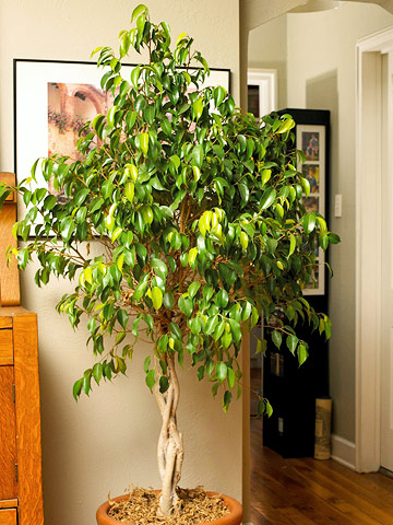 Ficus Plants Range From Large Trees To Woody Shrubs Trailing Vines All Grow Best In Medium Bright Light Although They Will Tolerate Low For