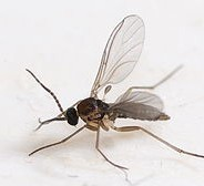 Green Ways to Control Fungus Gnats
